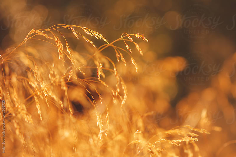 Golden Grass by Helen Sotiriadis for Stocksy United
