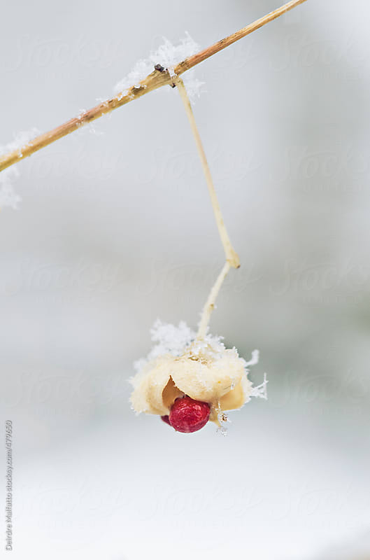 hanging red berry in the snow by Deirdre Malfatto for Stocksy United
