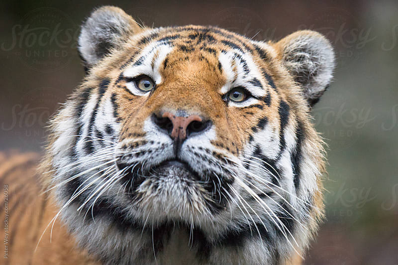 Wildlife: Amur Tiger (lat. Panthera tigris altaica) by Peter Wey for Stocksy United