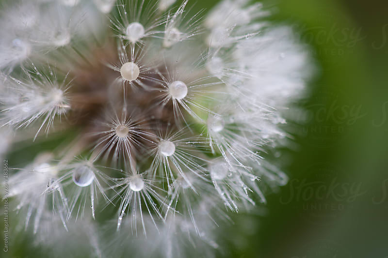 Close up of a droplet filled dandelion with a green background by Carolyn Lagattuta for Stocksy United