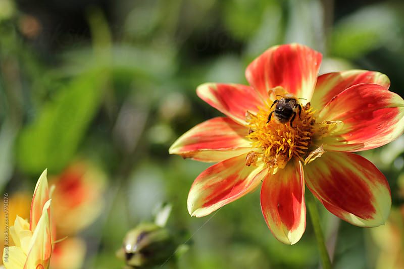 Bee on dahlia flower by Marcel for Stocksy United
