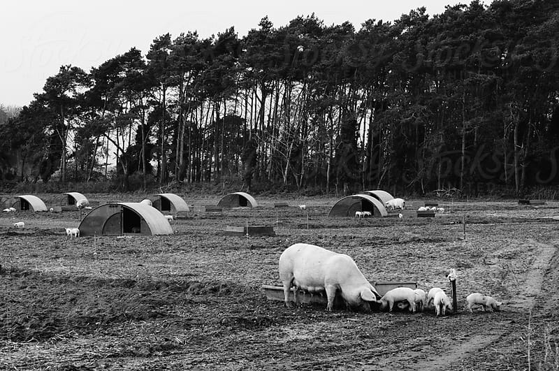 Piglets on a farm. Norfolk, UK. by Liam Grant for Stocksy United