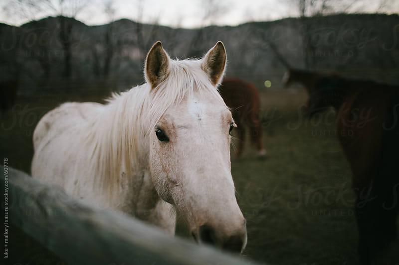 Horse Peeking Over Fence by luke + mallory leasure for Stocksy United