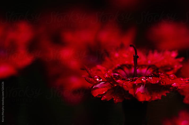 Macro of deep red dianthus flowers by Kerry Murphy for Stocksy United