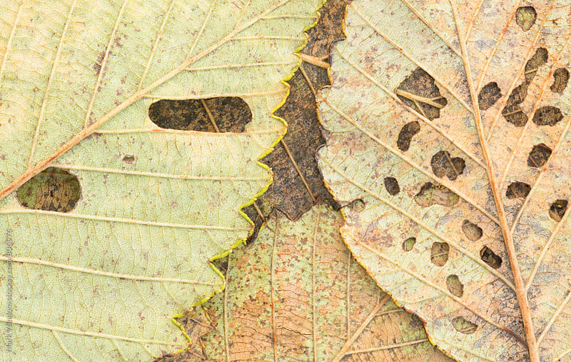 Decaying alder leaves, closeup by Mark Windom for Stocksy United