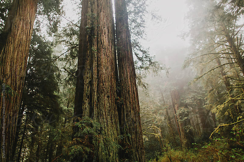A forest of redwoods. by Dylan M Howell Photography for Stocksy United