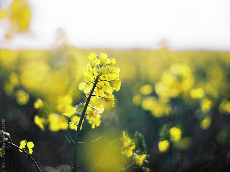 Close up of rapeseed plant in a field by Kirstin Mckee for Stocksy United