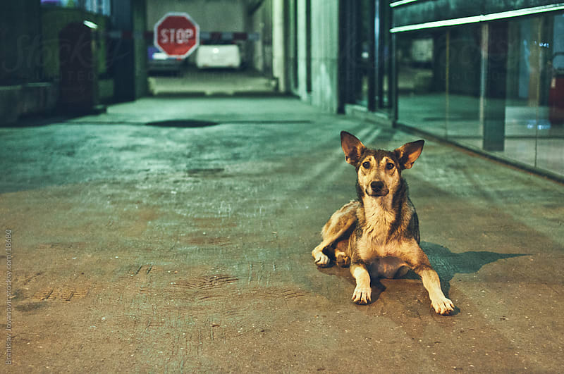 Street dog by Branislav Jovanović for Stocksy United