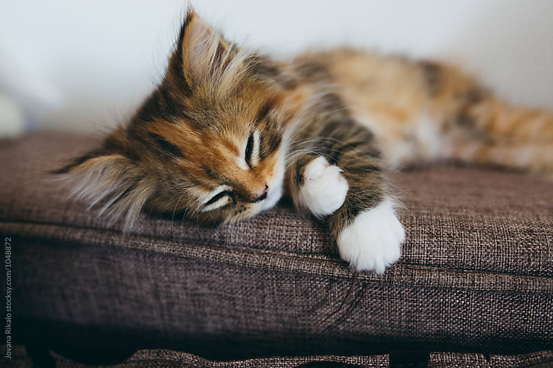 Sleepy persian kitten by Jovana Rikalo for Stocksy United