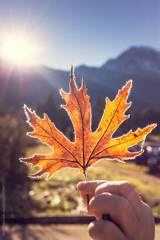 Frosted Leaf in the Sun by Helen Sotiriadis for Stocksy United