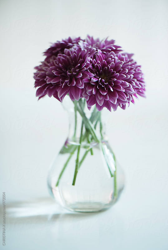 Chrysanthemums in a vase by CHRISTINA K for Stocksy United