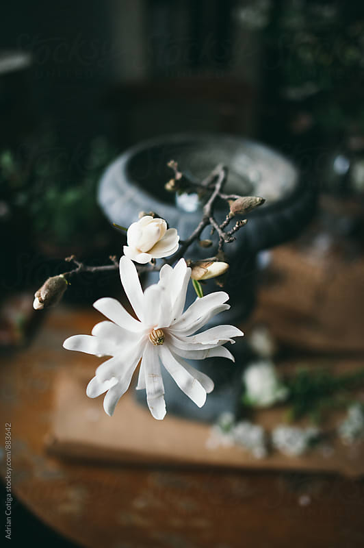 White magnolia in a vase by Adrian Cotiga for Stocksy United