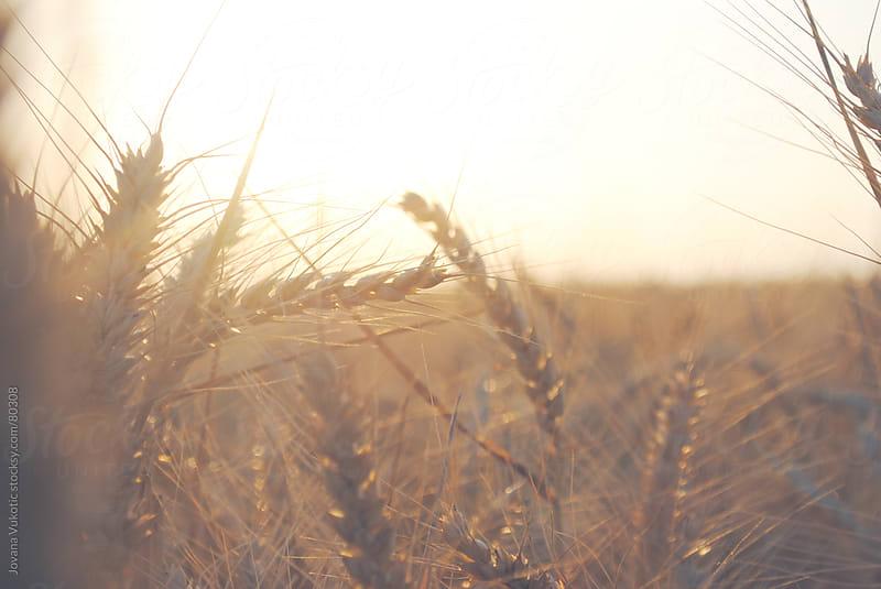 wheat by Jovana Vukotic for Stocksy United