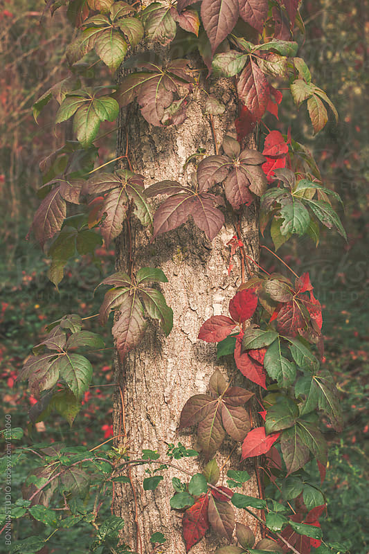 Colorful autumnal leaves on a tree. by BONNINSTUDIO for Stocksy United