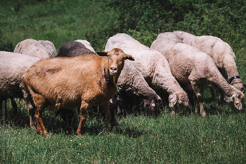 Flock of sheeps and goat by Borislav Zhuykov for Stocksy United