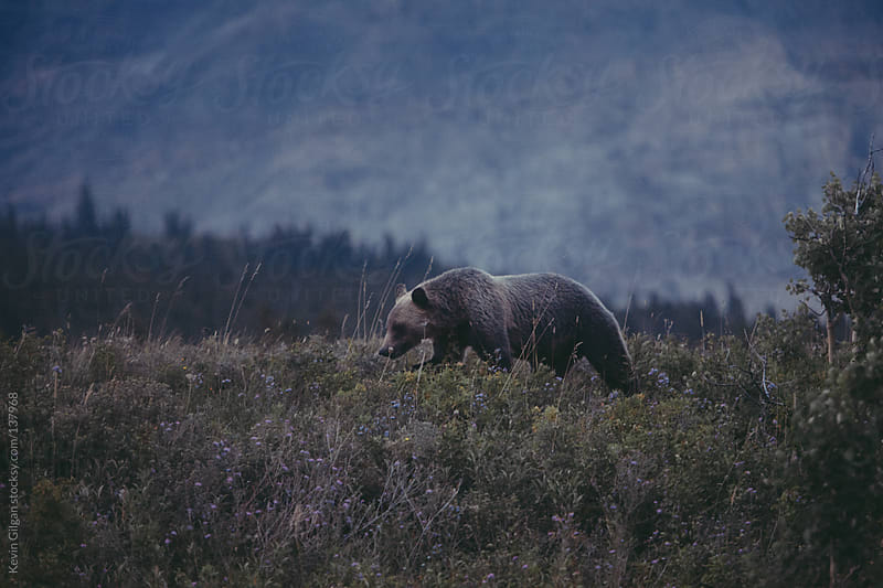 Grizzly Bear On Ridge by Kevin Gilgan for Stocksy United