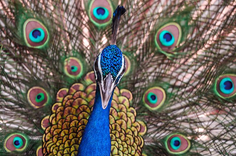 beautiful peacock by Gabriel Diaz for Stocksy United