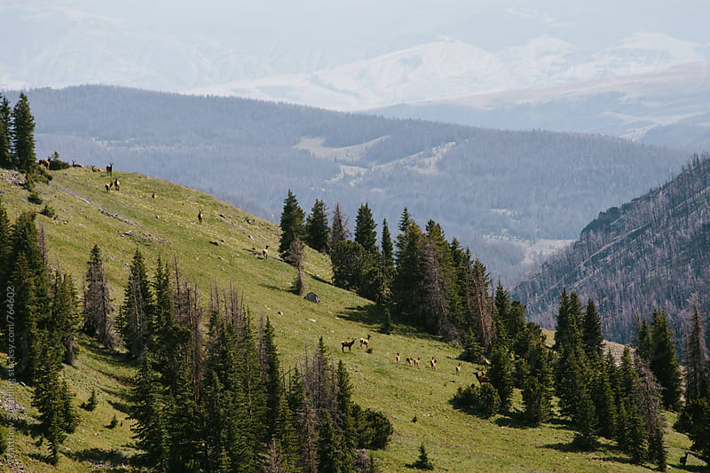 Herd of elk on mountain hillside by Matthew Spaulding for Stocksy United