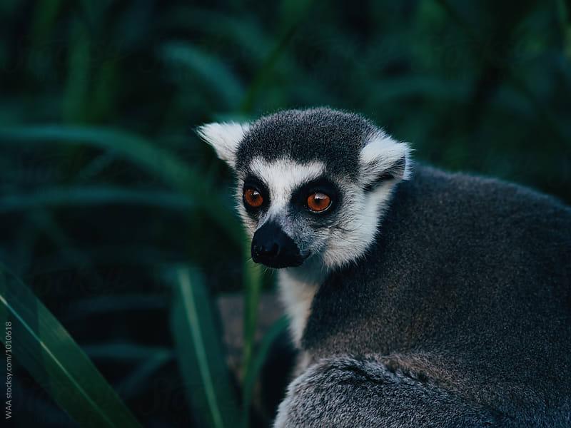 Lemur by WAA for Stocksy United