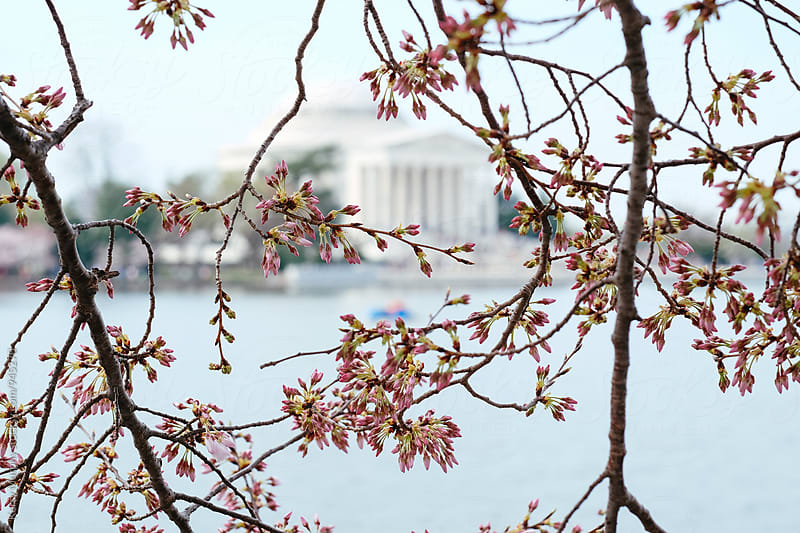 Cherry blossom buds with monument in background by Kerry Murphy for Stocksy United