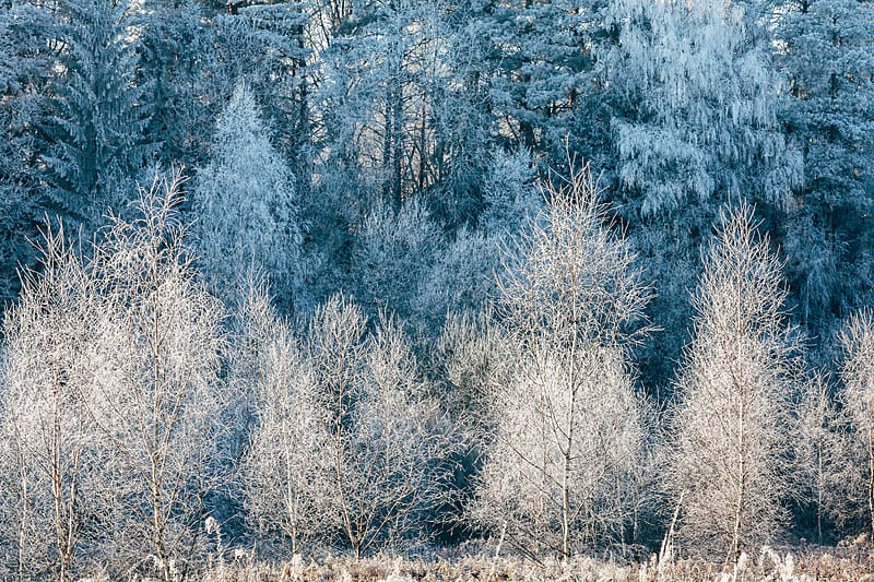 Winter forest covered with snow by Ilya for Stocksy United