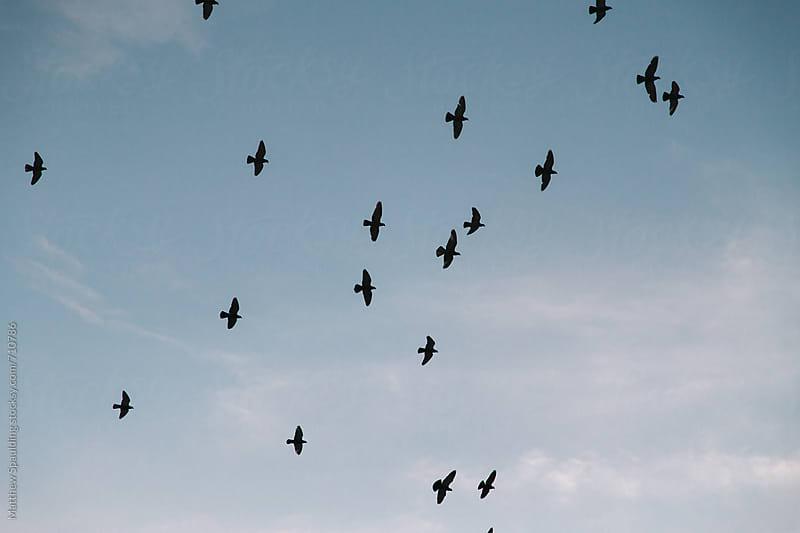 Flock of birds in flight during sunset by Matthew Spaulding for Stocksy United