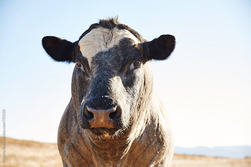 Cow in a field in Napa Valley, CA by Trinette Reed for Stocksy United