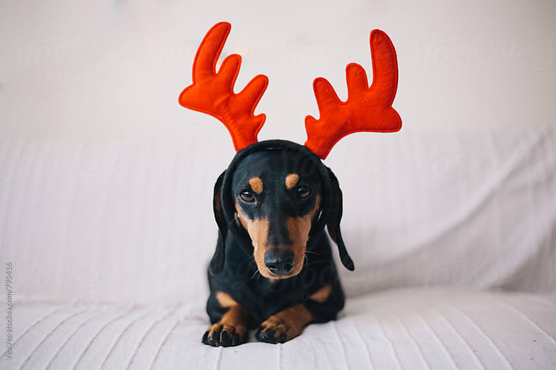 Adorable black dog wearing reindeer horns  by VeaVea for Stocksy United