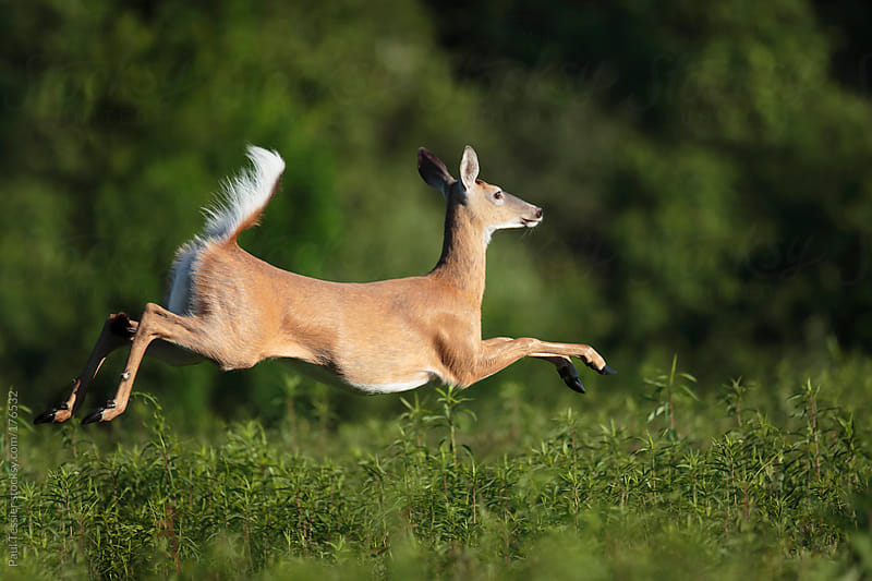 Jumping Deer by Paul Tessier for Stocksy United