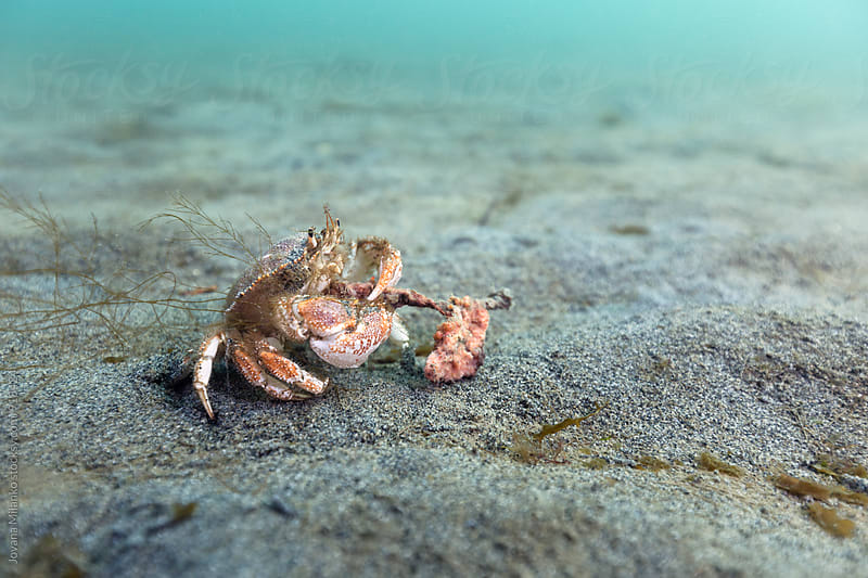 Crab eating a sponge on the sandy sea floor by Jovana Milanko for Stocksy United