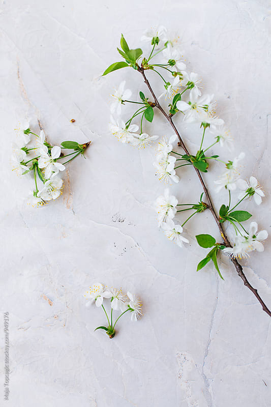 Blossom branch on a white background by Maja Topcagic for Stocksy United