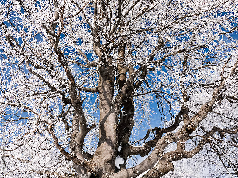 Tree Branches with Ice and Snow by Andreas Wonisch for Stocksy United