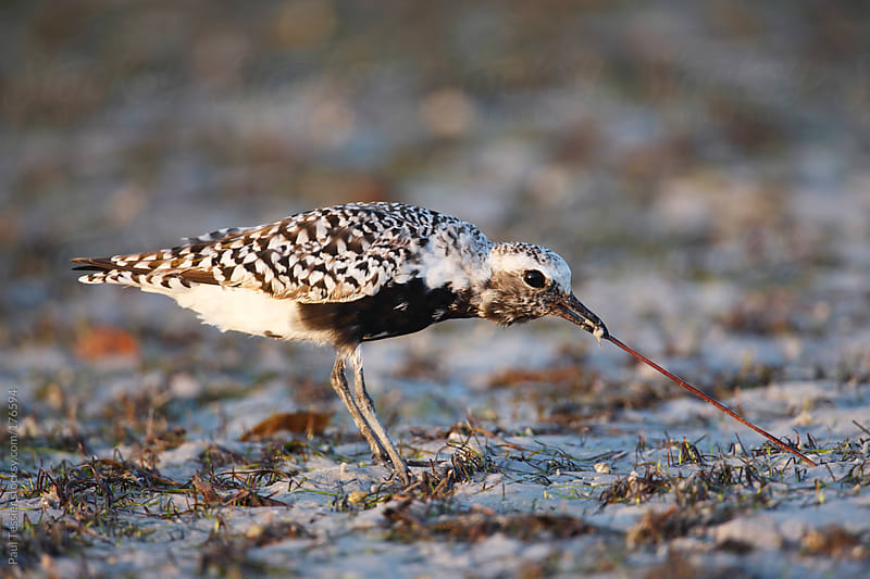 Black-bellied Plover by Paul Tessier for Stocksy United