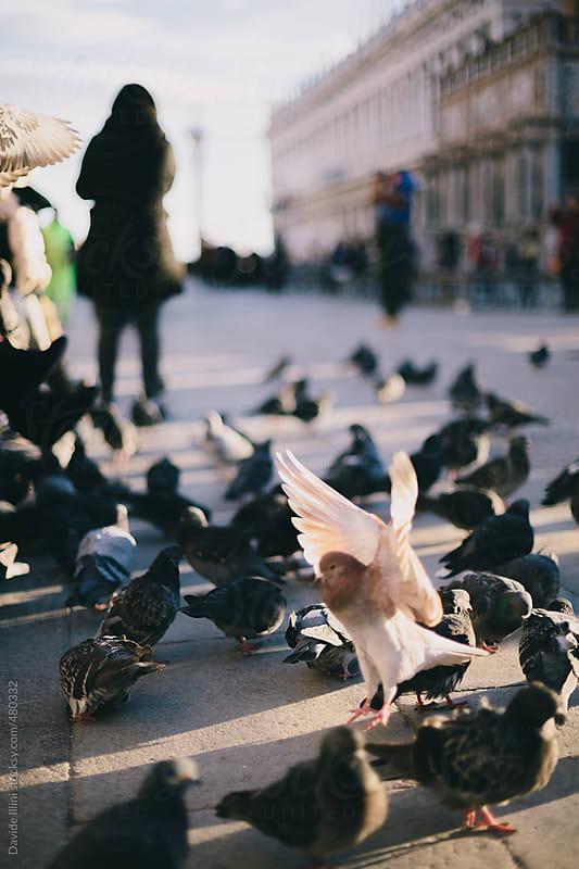 Pigeons in St Mark Square in Venice by Davide Illini for Stocksy United