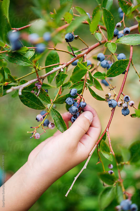 Child picking blueberries at the farm by Suprijono Suharjoto for Stocksy United