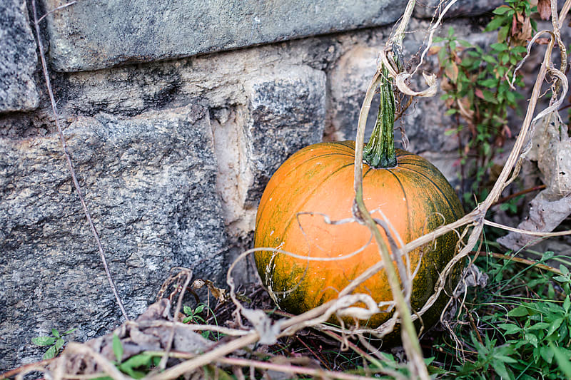 An orange pumpkin grows against city wall. by Holly Clark for Stocksy United