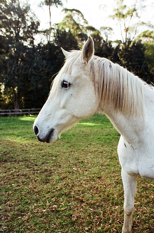 A white horse on a farm by Reece McMillan for Stocksy United
