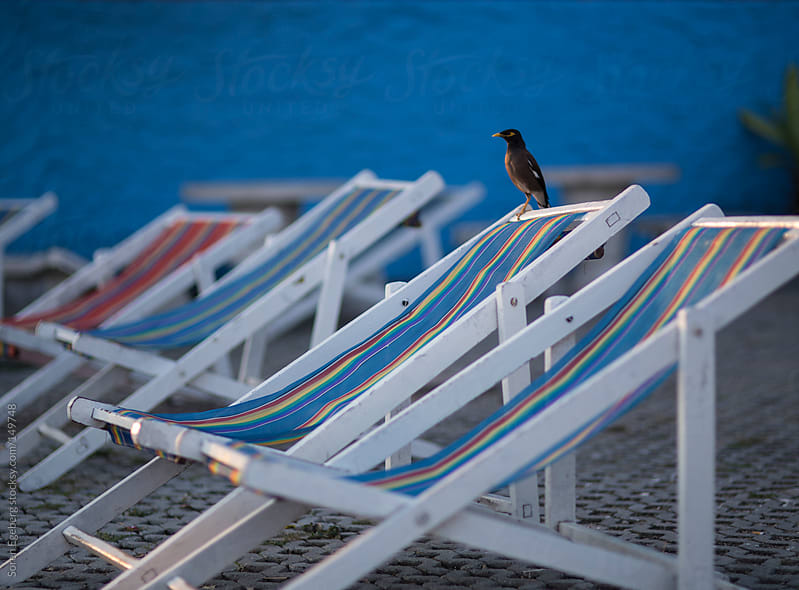 Bird sitting on white deck chairs outside with blue wall background by Soren Egeberg for Stocksy United