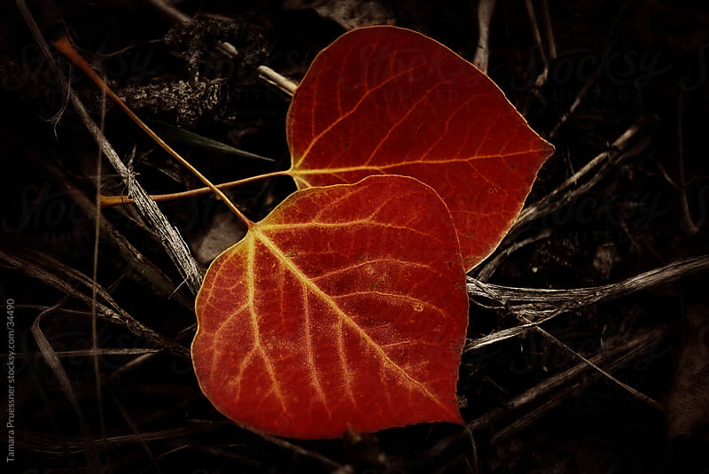 Two Red Aspen Leaves On Dark Background by Tamara Pruessner for Stocksy United