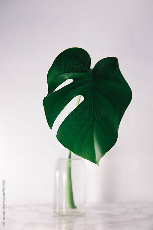 Philodendron  by Ali Lanenga for Stocksy United