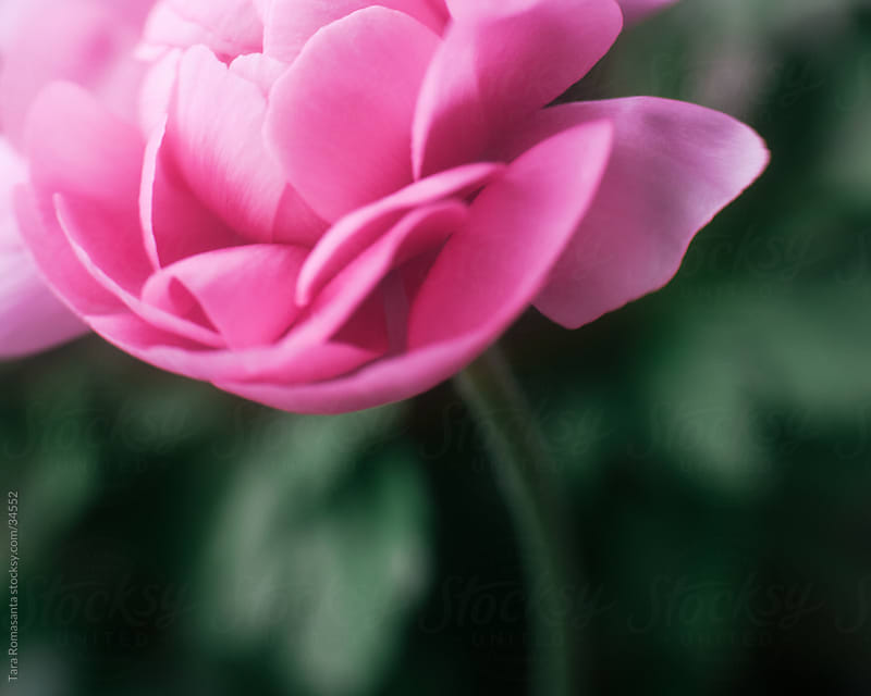 blushing ranunculus flower by Tara Romasanta for Stocksy United