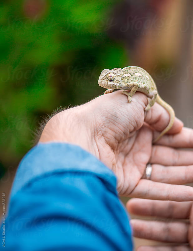 Chameleon on hand by ACALU Studio for Stocksy United