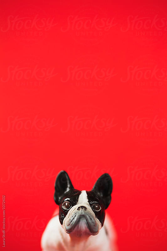 Extreme close up of grumpy bulldog toy on red background by Laura Stolfi for Stocksy United