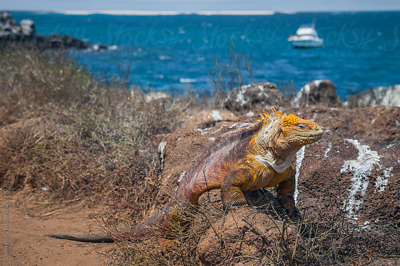 Giant Iguana of the Galapagos by Shelly Perry for Stocksy United
