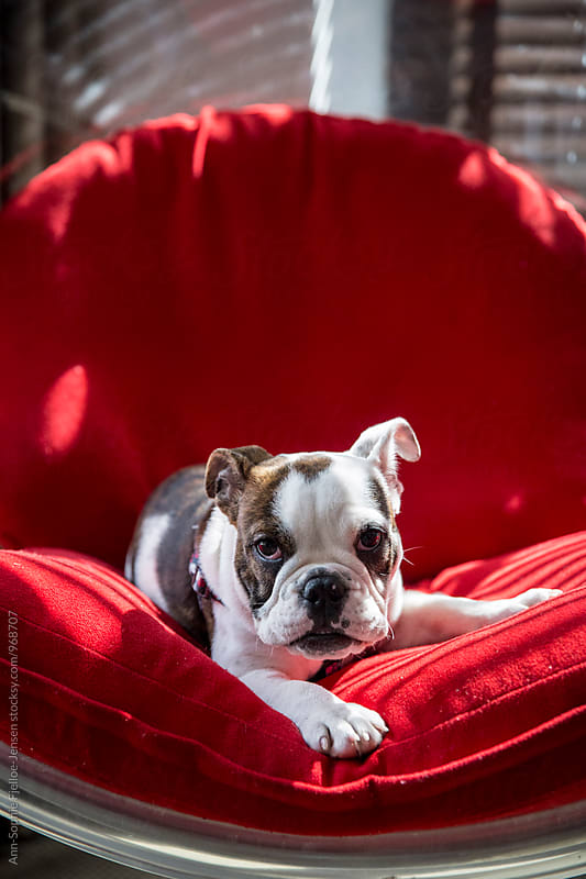 Puppy laying on a chair by Ann-Sophie Fjelloe-Jensen for Stocksy United