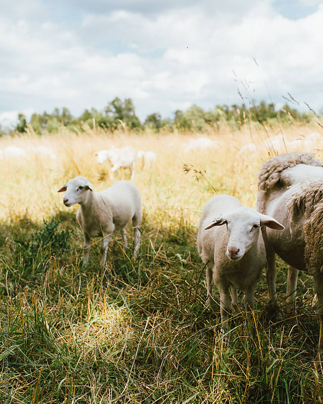 Sheep Grazing in a Pasture by Anjali Pinto for Stocksy United