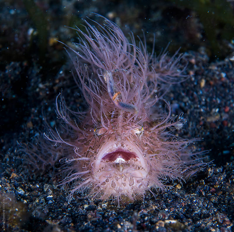 hairy frog fish yelping by Song Heming for Stocksy United