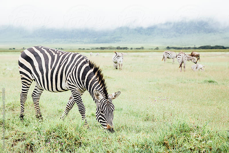 Zebra Eating Grass by Diane Durongpisitkul for Stocksy United