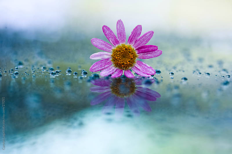 Small pink flower on a reflective surface with droplets. by Carolyn Lagattuta for Stocksy United