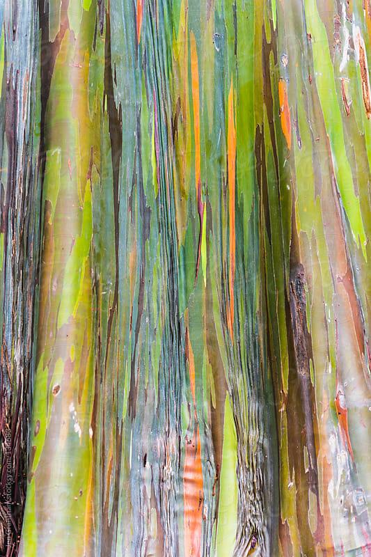 Rainbow Eucalyptus by Jen Grantham for Stocksy United